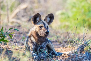 Wild Dog or Lycaon lying down in the bush, Africa